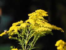 与飞行的黄色欧蓍草 免版税库存照片