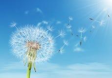 与飞行种子的蒲公英在多云天空 免版税库存照片
