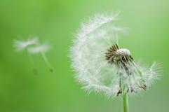 与飞行种子的蒲公英 免版税图库摄影