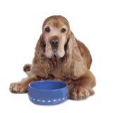 与食物碗的英国资深猎犬 免版税库存图片