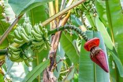 与香蕉开花的香蕉树 图库摄影