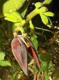 与香蕉花和芽的生长香蕉 库存照片