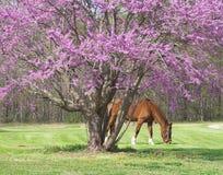 与马的Lavander树 库存图片