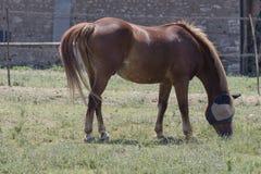 与马眼罩的马在农场 免版税图库摄影