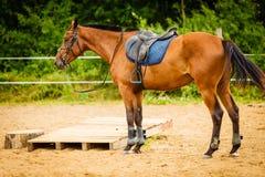 与马鞍的美丽的棕色阿拉伯品种马 免版税图库摄影