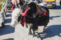 与马鞍的西藏黑毛皮牦牛乘驾的在混凝土路站立在冬天在塔石Delek在甘托克附近 北部锡金,印度 免版税库存图片