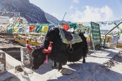 与马鞍的西藏黑毛皮牦牛乘驾的在混凝土路站立在冬天在塔石Delek在甘托克附近 北部锡金,印度 库存图片
