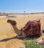 与马鞍的骆驼在海滩,埃及安装 免版税图库摄影