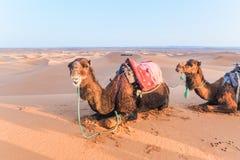 与马鞍的骆驼在说谎在沙丘的后面在撒哈拉大沙漠,Merzouga,摩洛哥 库存图片