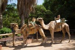 与马鞍的骆驼在费埃特文图拉岛,在动物园里 库存图片