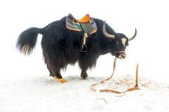 与马鞍身分和被上升的尾巴的牦牛在雪是 库存图片