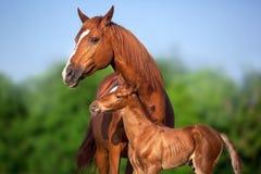 与马驹的马 库存图片