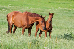 与马驹的马 库存照片