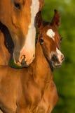 与马驹的画象母马 库存照片
