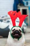 与马鹿鹿角的哈巴狗 愉快的狗 圣诞节哈巴狗狗 球圣诞节查出的心情三白色 在公寓的一条狗 免版税图库摄影