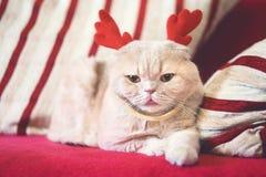 与驯鹿圣诞节垫铁的逗人喜爱的苏格兰折叠猫 作为驯鹿穿戴的奶油色猫鲁道夫 圣诞节动物 免版税库存照片