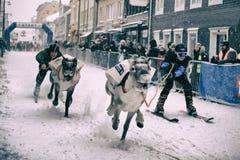 与驯鹿的滑雪竞争在特罗姆瑟 库存图片