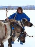 与驯鹿雪橇的Nenets公驯鹿在Yamal Peni的 免版税库存照片
