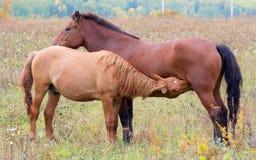 与驹的一匹马 免版税图库摄影