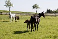 与驹的两匹母马 库存照片