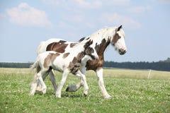 与驹的好的爱尔兰玉米棒母马在pasturage 免版税库存图片