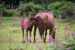 与驹的新的森林小马 免版税图库摄影