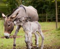 与驹的母亲驴 免版税库存图片