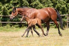 与驹的母马在牧场地 库存照片