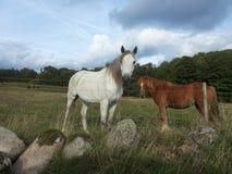 与驹的母马在牧场地 免版税库存照片