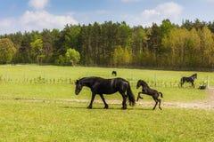与驹的母马在草甸 免版税库存图片
