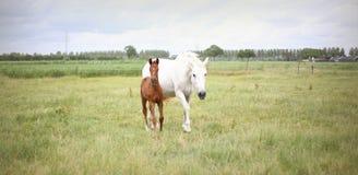 与驹的白色母马 免版税库存照片