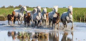 与驹的白色Camargue马在沼泽自然保护跑 camargue de地区的parc 法国 普罗旺斯 免版税图库摄影