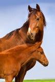与驹的红色母马 免版税图库摄影