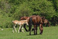与驹的马在草甸 免版税库存图片