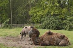 与驹的骆驼 库存图片