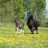 与驹赛跑的惊人的母马 库存图片
