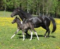 与驹赛跑的惊人的母马 免版税库存照片
