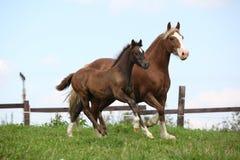与驹赛跑的美丽的母马 免版税库存图片