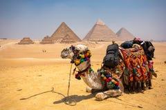 与骆驼的伟大的金字塔 免版税库存照片