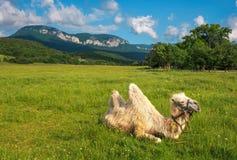 与骆驼的Beautifil风景在领域 库存图片