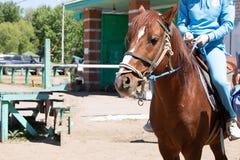 与骑师的棕色亚洲马坐马鞍,稳定的背景 免版税库存图片