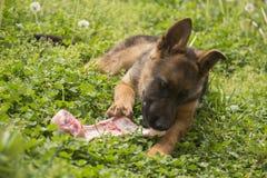 与骨头的德国牧羊犬小狗 免版税图库摄影