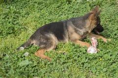 与骨头的德国牧羊犬小狗 图库摄影