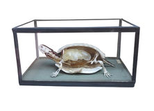 与骨骼里面的被解剖的乌龟被隔绝在白色 免版税库存照片