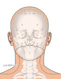 画与骨骼,针灸点LI18浮屠, 3D Illustrat 库存图片