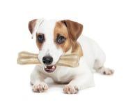 与骨头的小狗在白色 免版税库存图片