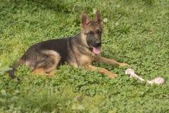 与骨头的德国牧羊犬小狗 免版税库存图片