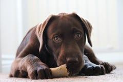与骨头的狗 图库摄影