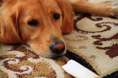 与骨头的金毛猎犬 免版税库存图片