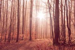 与高大的树木的有薄雾的森林叶子 库存图片